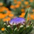 Photos: アーティチョークの花咲きました!