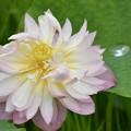 今日のハスの花