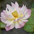 Photos: 今日のハスの花