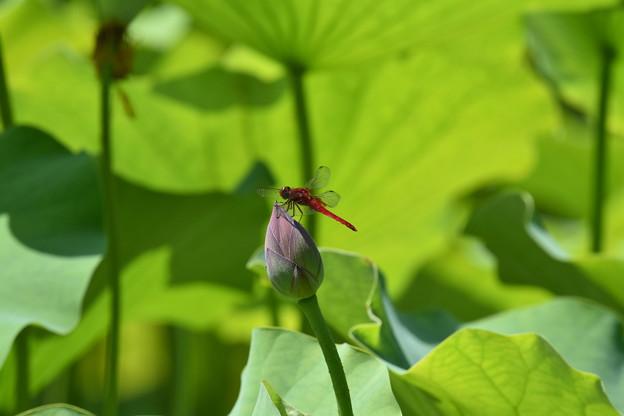 Photos: 花にとまらない赤とんぼ