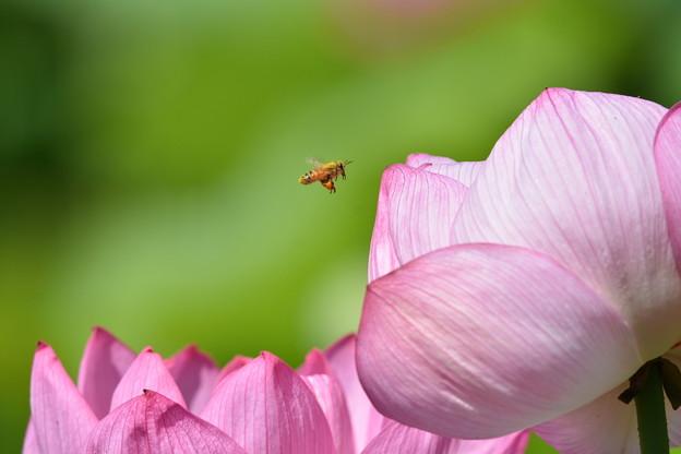 Photos: ミツバチとはす