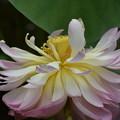 Photos: ハスの花1