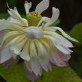 Photos: ハスの花2