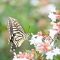 アゲハ蝶も食事中