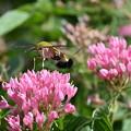 Photos: お花に群がるオオスカシバさん