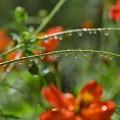 Photos: 散水の後のお花たち
