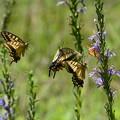 サワギキョウの群がる蝶たち