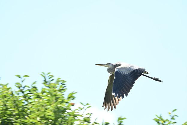 Photos: アオサギさんの飛翔