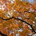 Photos: 閑谷学校の櫂の木紅葉