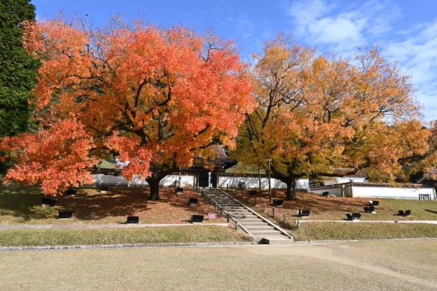Photos: 赤と橙に燃える櫂の木