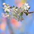 ヒマラヤ桜咲きました