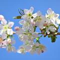 Photos: ヒマラヤ桜咲きました