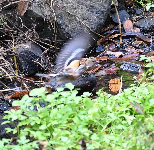 水飲み後のアトリ
