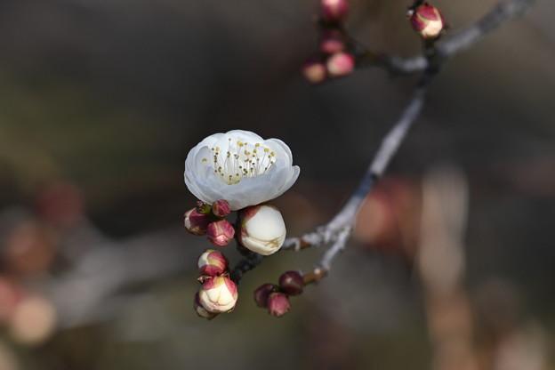 白梅咲きました