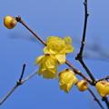Photos: ロウバイ咲きました