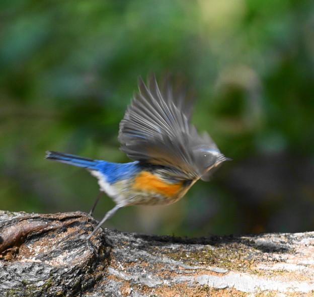 Photos: 青い鳥飛んだ!
