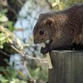 写真: 松鼠吃Calbee