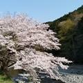 写真: 桜4
