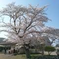 写真: 桜5