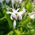 写真: 口紅紫蘭