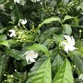 ミャンマーの花 (3)