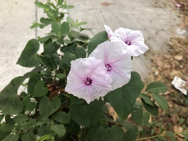 1月7日のヤンゴンの朝 (15)