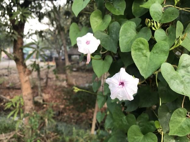 いつもより暗く感じる1月26日のヤンゴンの朝 (14)