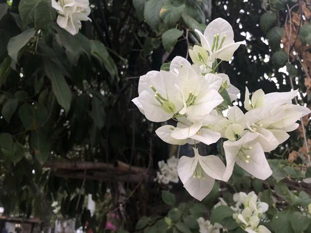 1月30日のヤンゴンの朝 (12)