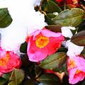 写真: 春雪の彩
