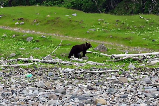 ルシャ湾のヒグマ