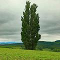 写真: ケンとメリーの木