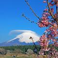 Photos: 桜の朝