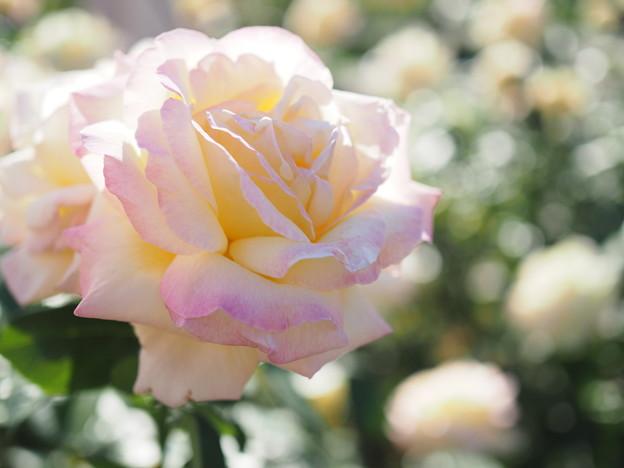 薔薇 ピース