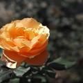 Photos: 秋のバラ