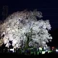 Photos: わに塚の桜
