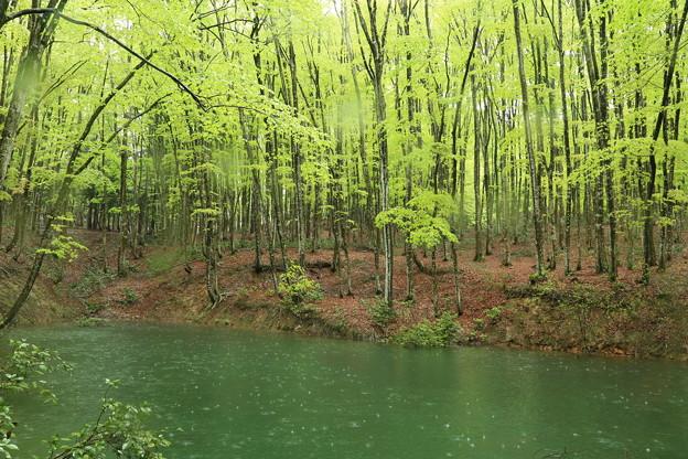 雨のブナ林