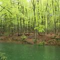 Photos: 雨のブナ林
