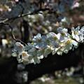 Photos: 2018_桜7