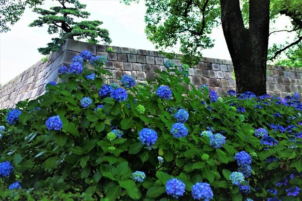 天守台と紫陽花