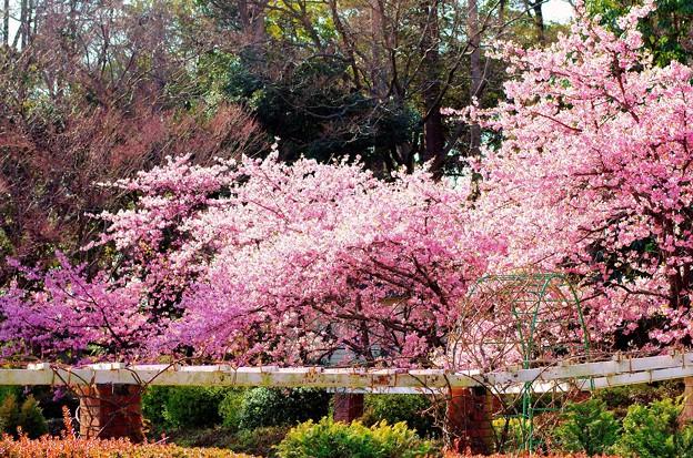 里見公園の河津桜_3