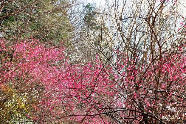小田野城の梅(2)