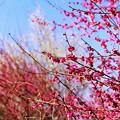 小田野城の梅(3)