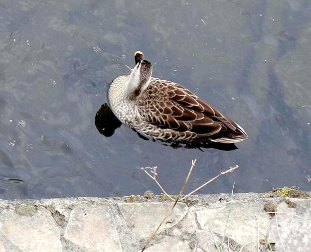 写真: 鴨 (2)