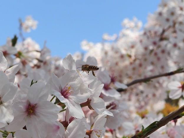 稲毛神社の桜2
