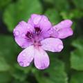 写真: 雨上がりの花