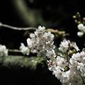 夜桜その2