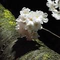 夜桜その4