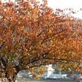 Photos: 八重桜の黄葉
