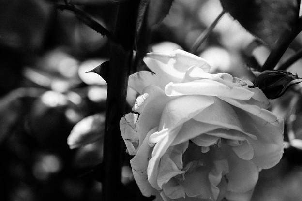 綺麗な薔薇には