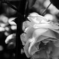 写真: 綺麗な薔薇には
